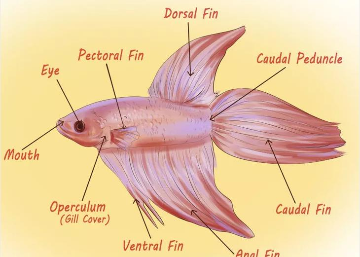 Determine-the-Sex-of-a-Betta-Fish-1