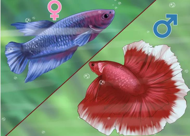 Determine-the-Sex-of-a-Betta-Fish